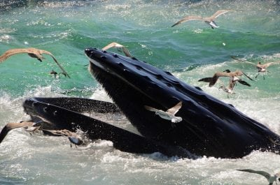 Is Swimming With Humpback Whales Sketchy or Sustainable Tourism?